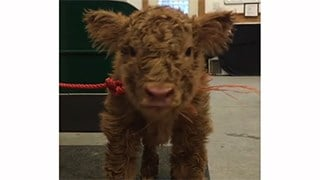 NH farm posts calf video and animal rights commenters descend