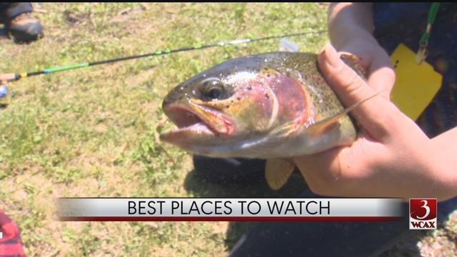 Steelhead Rainbow trout on the move