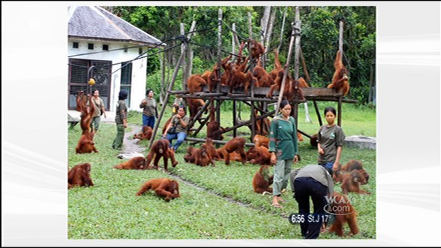 Nyaru Mentang Orangutan Rehabilitation and Reintroduction Center.