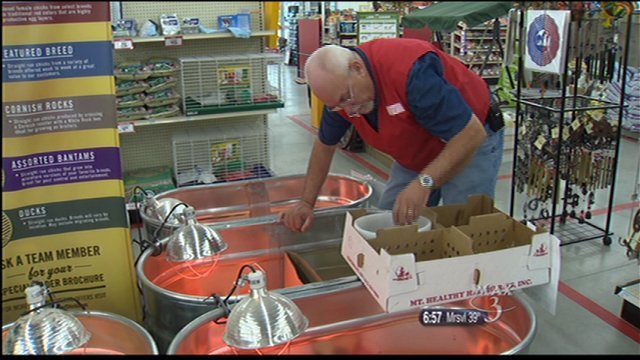 Tractor Supply Co. employees spend up to four hours a day caring for the baby chicks.