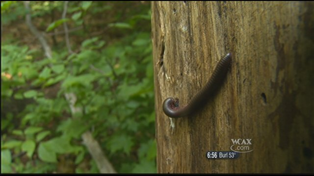 A millipede on a tree at Eagle Mountain Natural Area.