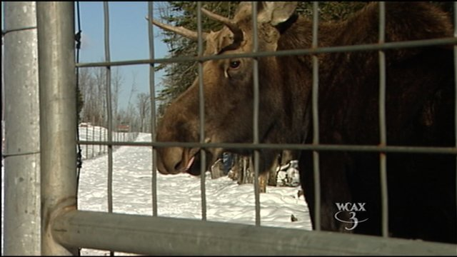 Pete the Moose - File photo